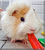 Guiness the Guinea Pig