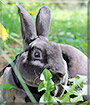 Maxwell the Mini Rex rabbit