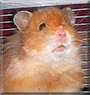 Allen the Golden hamster