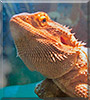 Bacon the Bearded Dragon