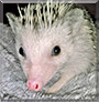 Willa the African Pygmy Hedgehog