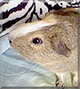 Wilbur the Guinea Pig