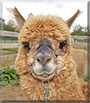 Remy the Huacaya Alpaca