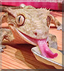 Milo the Crested Gecko