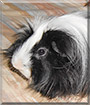 Herman the Peruvian Long Haired Guinea Pig