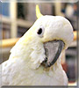 Bella the Lesser Sulfer Crested Cockatoo