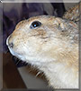 Allie the Prairie Dog