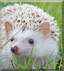 Nova the African Pygmy Hedgehog