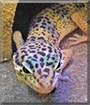 Torias the Leopard Gecko