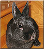 Harley the Netherland Dwarf mix