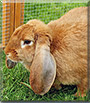 Pauline the English Lop Rabbit