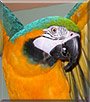 Kayko the Blue and Gold Macaw