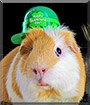 Ziggy the Guinea Pig