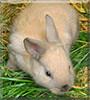 Smokey the Dwarf rabbit mix