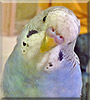 Archie the American Budgie