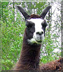 Korky the Llama