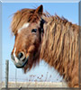 Penny the Welsh Pony, Arabian cross