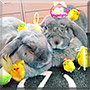 Elina, Resu the French lop, Minilop Rabbit