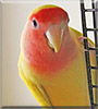 Buddy the Lutino peach faced lovebird