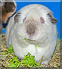 Bubbla the Himalayan Guinea Pig