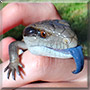 Phoenix the Blue Tongue Lizard