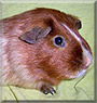 Apollon the Red Satinroan Guinea Pig
