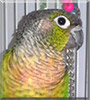 Aspen the Green Cheeked Conure