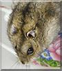 Liza the Djungarian hamster
