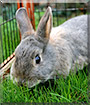 Rocky Nokia the Miniature Rabbit