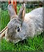 Rocky Nokia the Miniature Rabbit