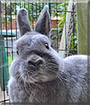 Dustbunny the Polish Rabbit