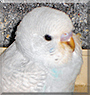 Fiocco di neve the Parakeet