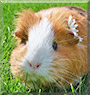 Fiffy the Shorthair Guinea Pig