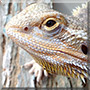 Ralf the Bearded Dragon