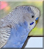 Sonny the Budgie