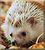 Fürge the African Pygmy Hedgehog