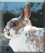 Mei the Netherland Dwarf Rabbit