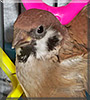 Lil Peeps the Eurasian Tree Sparrow