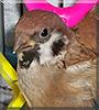 Lil Peeps the Eurasian Tree Sparrow