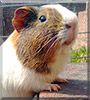 Jack the Guinea Pig