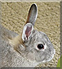 Cookie the Netherland Dwarf Rabbit