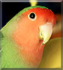 Rocky the Lovebird