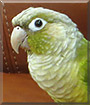 Chico the Cinnamon Green Cheek Conure