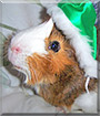 Helios the Guinea Pig