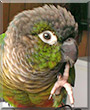 Yogi the Green cheek conure