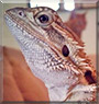 Drogon the Bearded Dragon