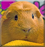 My the English Crested Guinea Pig
