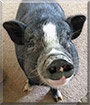 Arnold the Pot Belly Pig