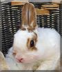 Stubsie the Dwarf Rabbit