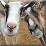 Gabriel, Saqqara the Alpine Goat